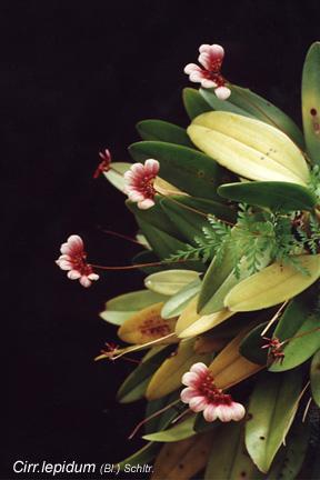 thai wild orchids  bulbophyllum, cirrhopetalum, dendrobium, Beautiful flower